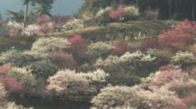 People Walk Through Large Field Of Blossoming Plum Trees
