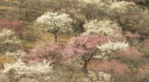 Large Field Of Blossoming Plum Trees