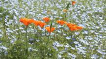 Orange Poppies Among Blue Flowers