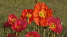 Field Of Iceland Poppies In Breeze