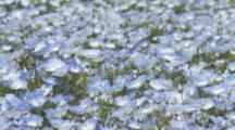 Field Of Baby Blue Eyes