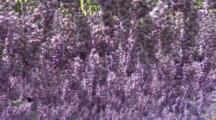 Close Up Hanging Wisteria Flowers In Breeze