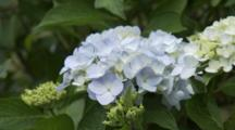 Close Up White Hydrangeas