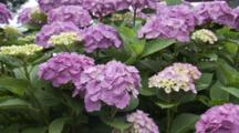 Close Up Purple Hydrangeas