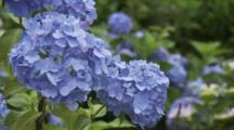 Close Up Blue Hydrangeas