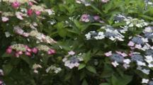 Close Up Hydrangeas