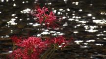 Close-Up Red Spider Lilies, Sparkling Water Behind