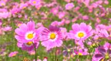 Close Up Cosmos Flowers, Field Behind