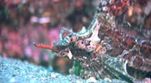 Strange Fish With Long Nose, Possibly Sculpin, Gurnard Or Sea Moth