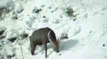 A Deer Browses For Grass On Snowy Hillside