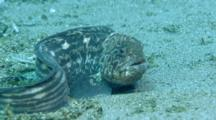 Bering Wolffish Rests On Sand Bottom