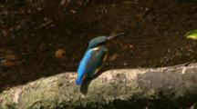 Common Kingfisher Perched On Branch On Stream