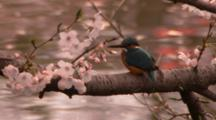 Common Kingfisher Perched On Branch
