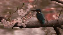 Common Kingfisher Swallows Fish On Branch Above Stream