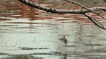 Common Kingfisher Perched On Branch Over River, Dives Into Water, Back To Branch