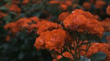 Close Up Rose Blooms