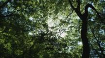 Sun Through Forest Canopy, Silhouettes Tree Trunk
