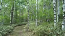 Path Through Birch Forest