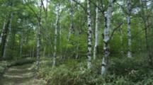 Path Through Birch Forest