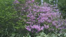 Purple Flowering Shrub In Forest