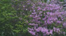 Purple Flowering Shrub In Forest