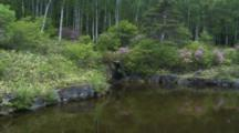 Pond And Birch Forest
