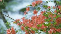 Red Flowering Shrub With Out-Of-Focus Creek Behind