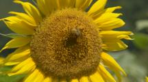 Honeybee Feeds On Sunflower