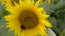 Honeybee Feeds On Sunflower