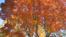 Leaves Of Red Maple Tree Move In Breeze