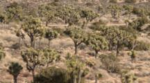 Joshua Trees Grow Across Desert In Joshua Tree National Park