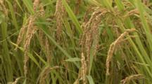 Close-Up Of Rice Stalks