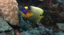 Blueface Angelfish On Reef