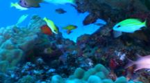 Colorful Reef Fish Including Flame Angel On Reef