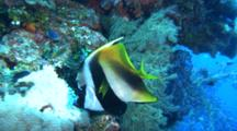Masked Banner Fish Feeds On Reef