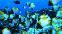 Large School Of Pyramid Butterfly Fish Over Coral Reef