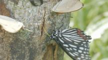 Stag Beetle Moving On Tree Trunk Among Butterfly And Moths