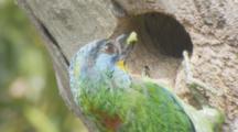 Black-Browed Barbet Delivering Food To Its Nest