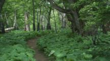 Hiking Trail Through Dense Forest In Japan