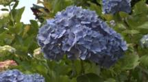 Close Up Hydrangea Flower