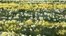 Fields of White And Yellow Flowers, Possibly Daffodils