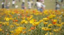 Visitors In Field Of Colorful Iceland Poppies