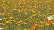 Field Of Colorful Iceland Poppies