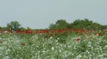 Field Of Flowers, Possibly Poppies