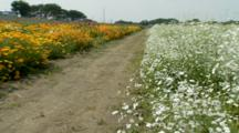 Path Between Fields Of Flowers, Possibly Poppies