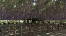 Impressive Wisteria Blossoms Hang Down From Huge Tree