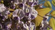 Close Up Wisteria Blossoms