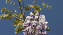 Wisteria Blossoms Hang Down From Tree