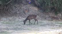 Deer, Possibly Kerama Deer, Grazes On Okinawa