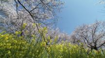 Rape Blossoms And Flowering Cherry Trees